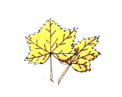枫叶简笔画,秋天的叶子简笔画 植物-第9张