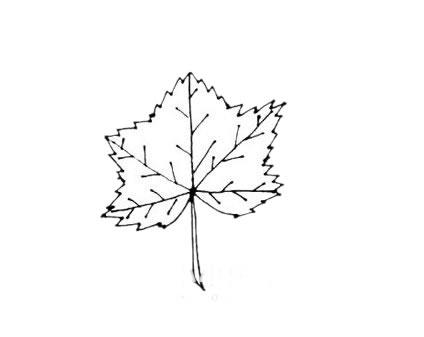 枫叶简笔画,秋天的叶子简笔画 植物-第6张