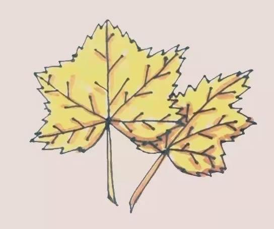 枫叶简笔画,秋季枫叶简笔画 初级简笔画教程-第1张
