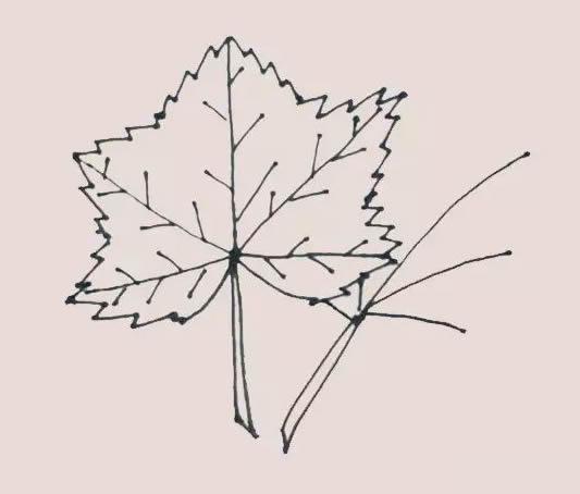 枫叶简笔画,秋季枫叶简笔画 初级简笔画教程-第7张