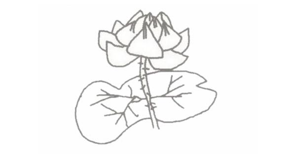 荷花简笔画的画法步骤图教程 植物-第4张