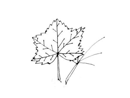 枫叶简笔画,秋天的叶子简笔画 植物-第7张