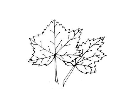 枫叶简笔画,秋天的叶子简笔画 植物-第8张