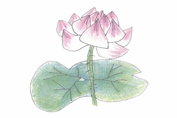 荷花简笔画的画法步骤图教程 植物-第5张