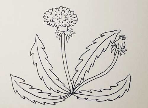 蒲公英怎么画,儿童简笔画蒲公英 中级简笔画教程-第4张