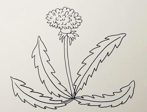 蒲公英怎么画,儿童简笔画蒲公英 中级简笔画教程-第3张