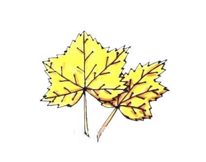 枫叶简笔画,秋天的叶子简笔画 植物-第1张