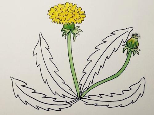 蒲公英怎么画,儿童简笔画蒲公英 中级简笔画教程-第5张